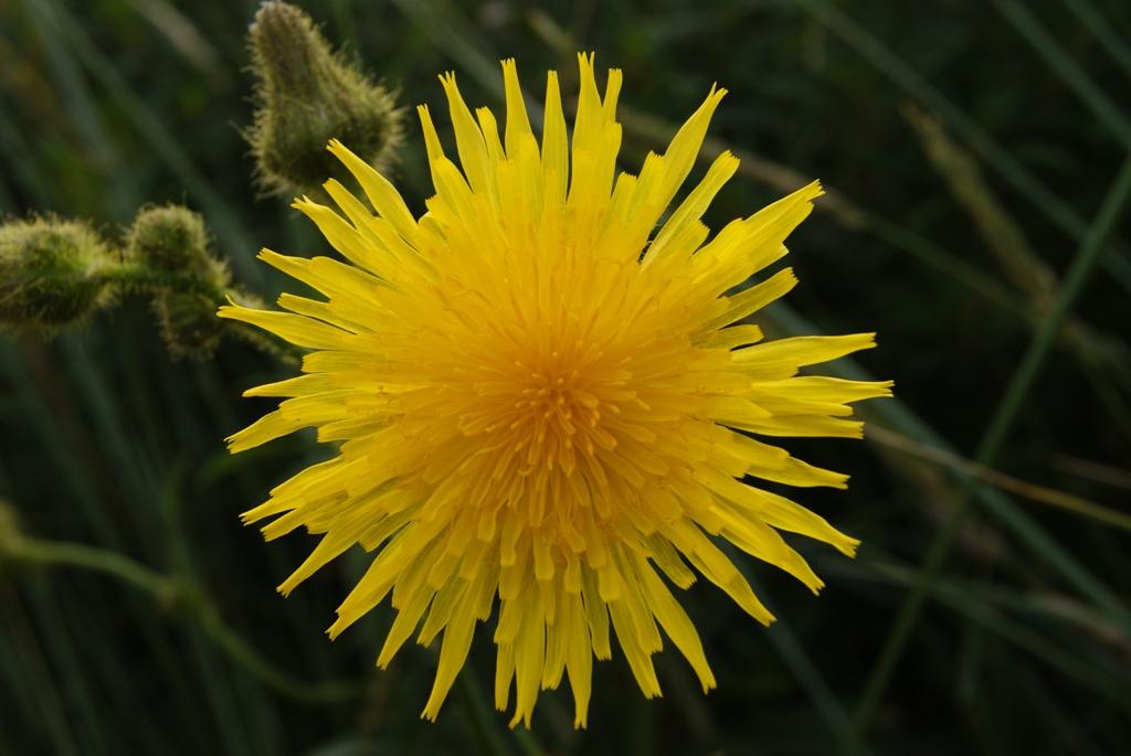 Flores en la isla de Schiermonnikoog en Holanda