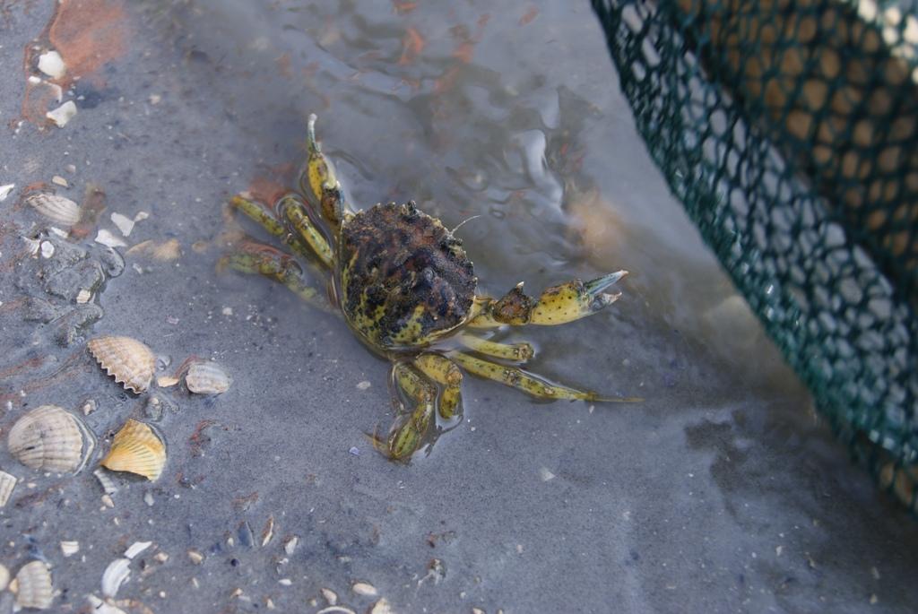 un crab que no se escapó antes de la marea baja