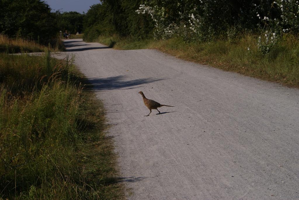 pajaro que cruza la calle en la isla de Schiermonnikoog en Holanda