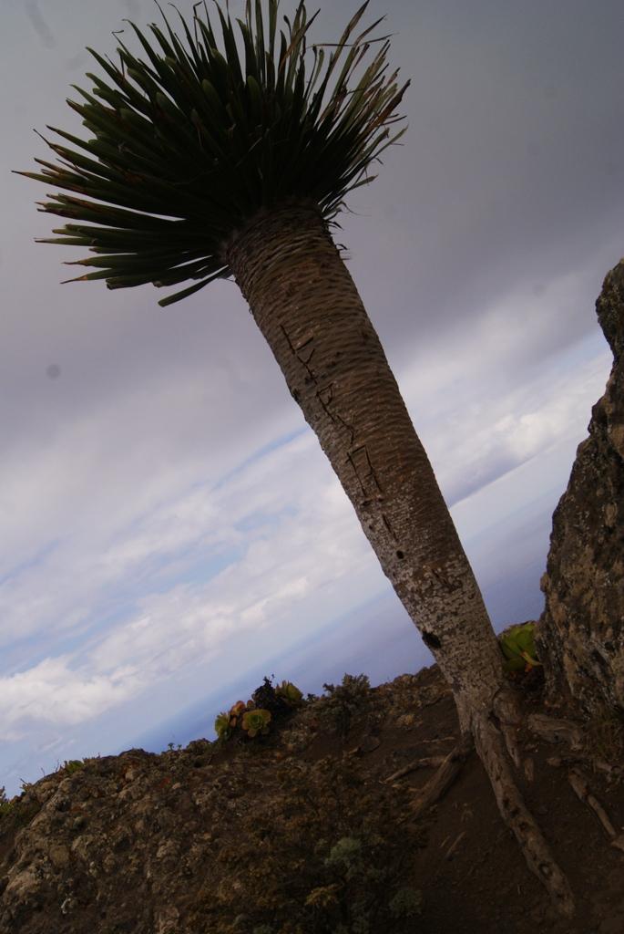 Tenerife Drago