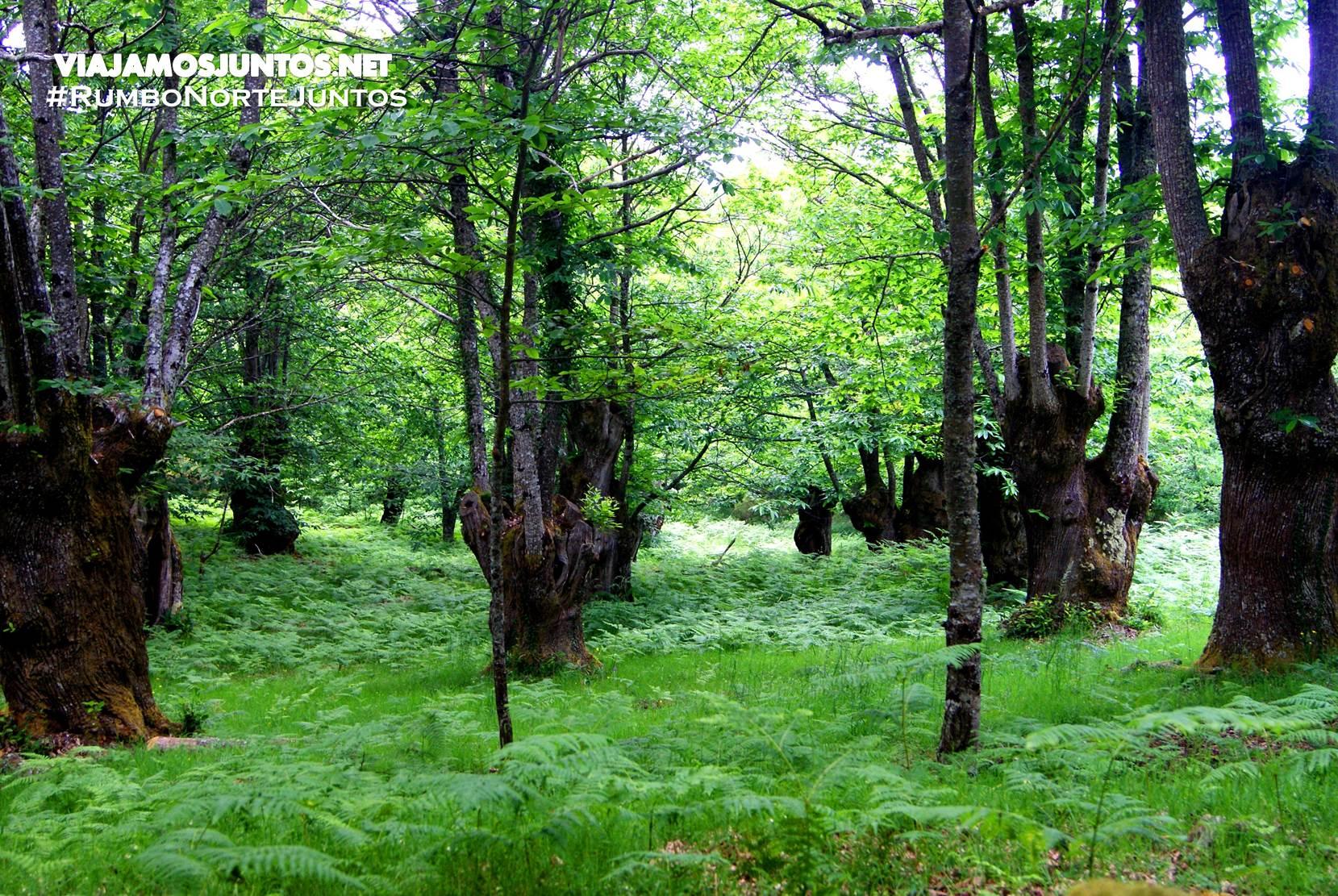 Los árboles gigantes de la ruta del Cañón del río Sil