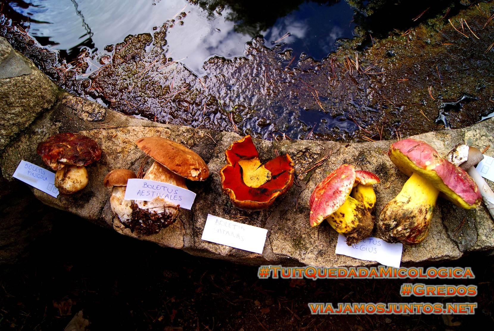Diferentes tipos de boletus en el Pinar de Hoyocasero, Gredos, durante la #TuitQuedadaMicologica