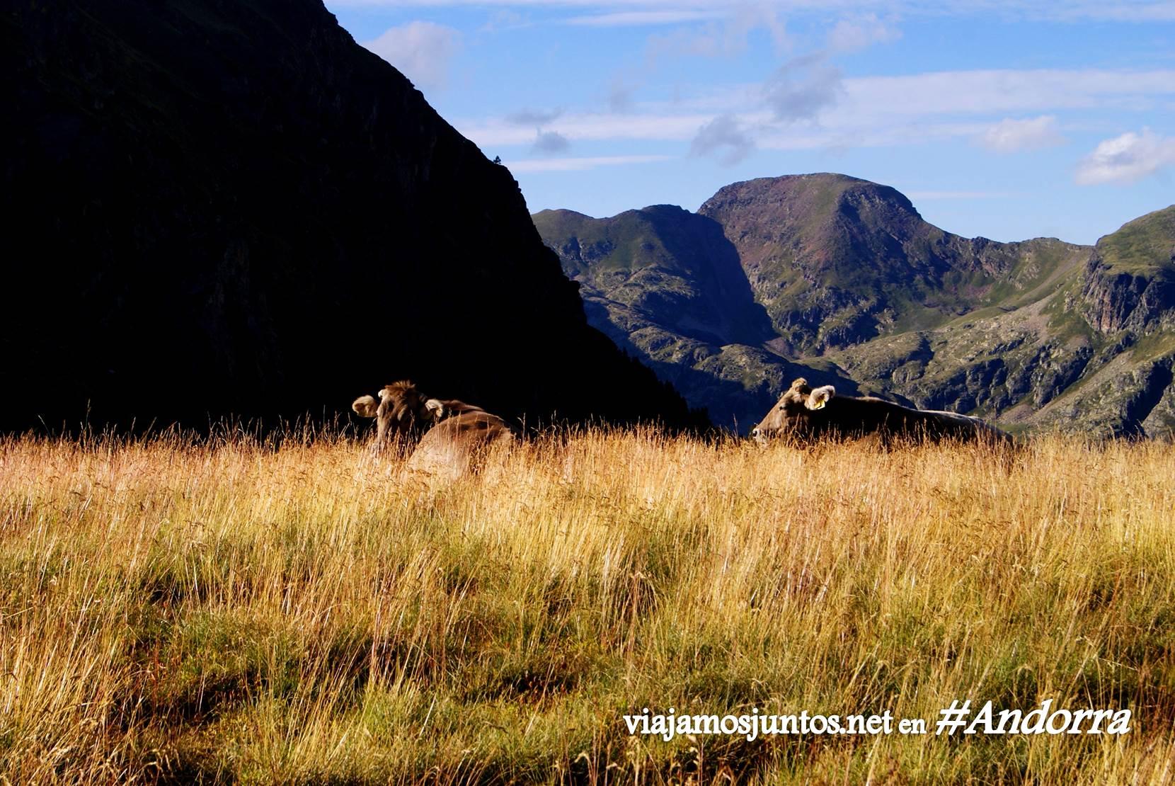 Vacas en gran recorrido alrededor del país, Andorra, Pirineos