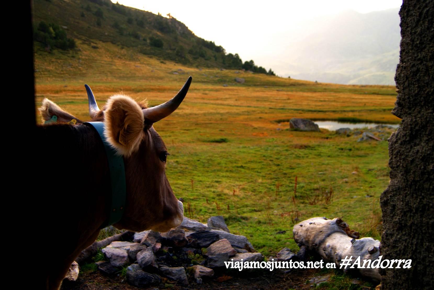 Vaca que viene de visita al refugio de Siscaró, GRP, Andorra, Pirineos