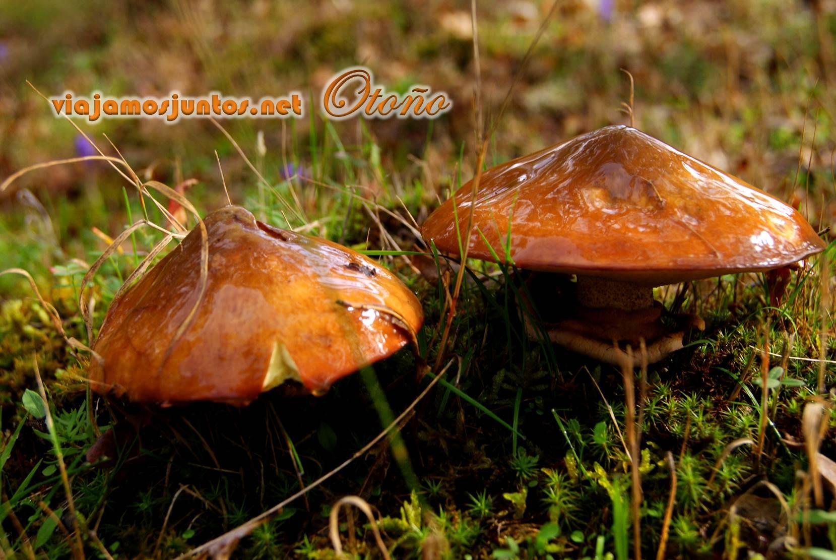 Seta comestible; Rascafría, Madrid; otoño