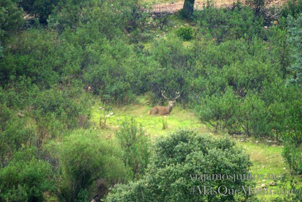 Un ciervo descansando en la dehesa, Parque Nacional de Monfragüe y la Reserva de la Biosfera de Monfragüe, Extremadura