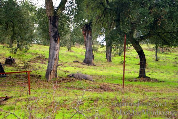 Un cerdo ibérico descansando en la dehesa, Parque Nacional de Monfragüe y la Reserva de la Biosfera de Monfragüe, Extremadura