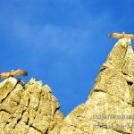Dos buitres leonados secándose las alas, Parque Nacional de Monfragüe y la Reserva de la Biosfera de Monfragüe, Extremadura