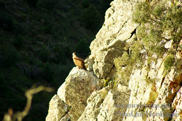 Un buitre pensando en su vida, Parque Nacional de Monfragüe y la Reserva de la Biosfera de Monfragüe, Extremadura
