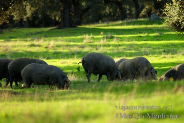 Cerdo ibérico - la estrella de las dehesas extremeñas, Parque Nacional de Monfragüe y la Reserva de la Biosfera de Monfragüe, Extremadura