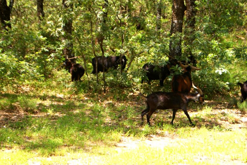 Las cabras del Infierno Ruta en 4x4 por lo alto del Valle del Jerte, Extremadura