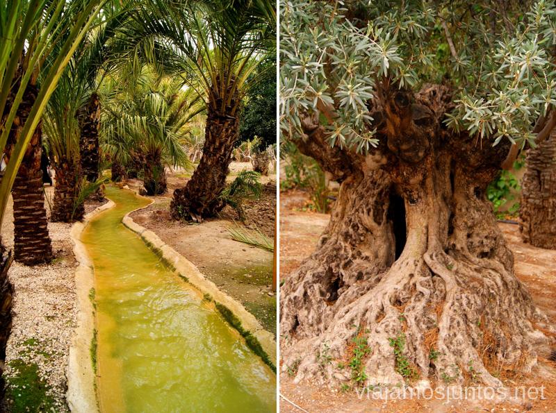 Un olivo y un canal en el Huerto de San Plácido Que ver y que hacer en Elche, Alicante, Valencia. Datos prácticos.
