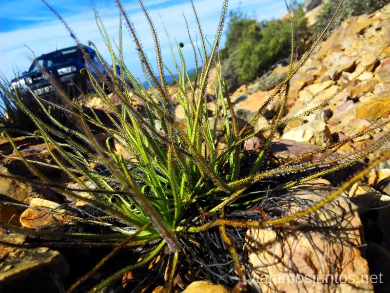 Atrapamoscas preparada para atrapar el coche Descubriendo el Edén de la Mancha, el parque natural del Valle de Alcudia y Sierra Madrona