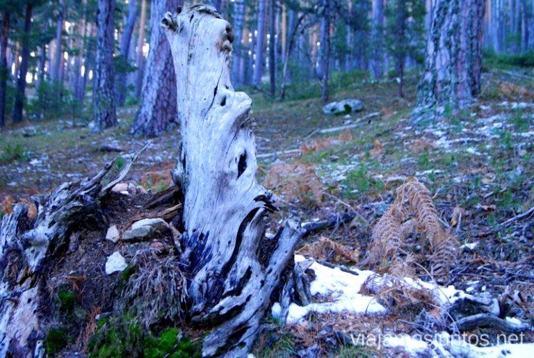 Detalles del bosque Ruta de las cascadas, Navacerrada, Sierra Guadarrama, Madrid. Nieve, río, cascaditas, vistas panorámicas