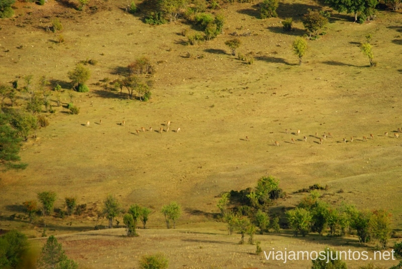 Avistamiento de la berrea La berrea del ciervo y la ronca del gamo en la Serranía de Cuenca, Castilla-La Mancha