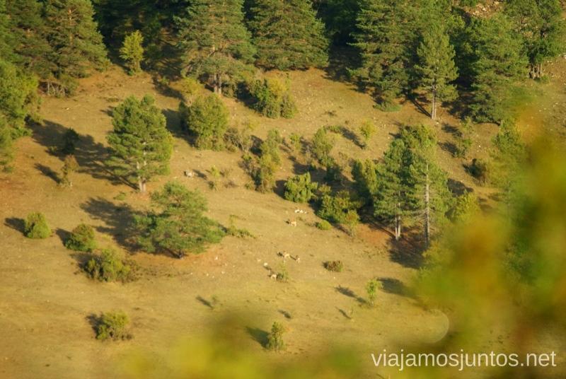 Pillados.. bajando desde la montaña La berrea del ciervo y la ronca del gamo en la Serranía de Cuenca, Castilla-La Mancha