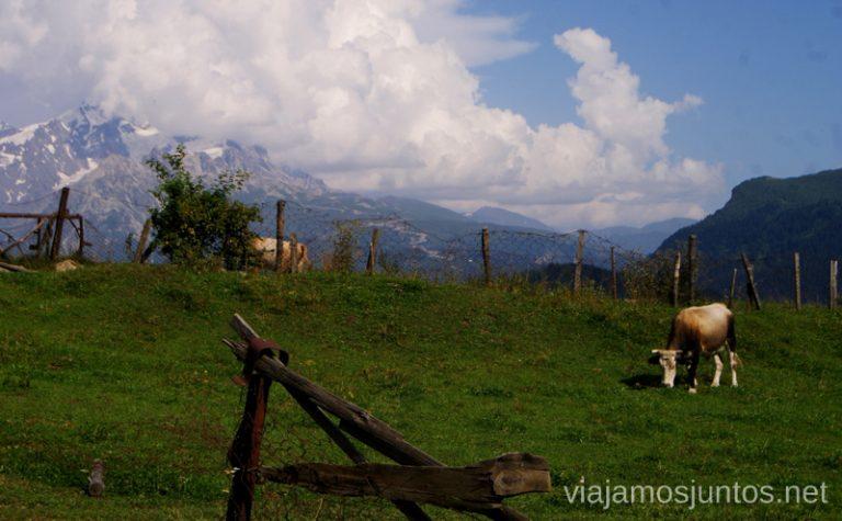 Aquí están, las vaquitas, por todos lados en Georgia Ruta de senderismo a la Cruz de Mestia