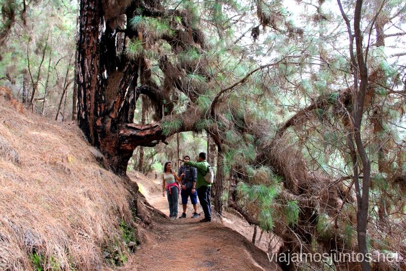 El Gran Pino Canario Ruta de la Caldera de Taburiente, La Palma, Islas Canarias