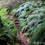 Los helechos gigantes en la ruta del Cubo de la Galga, la Palma Senderismo en la Palma, Ruta del Cubo de la Galga #LaPalmaJuntos