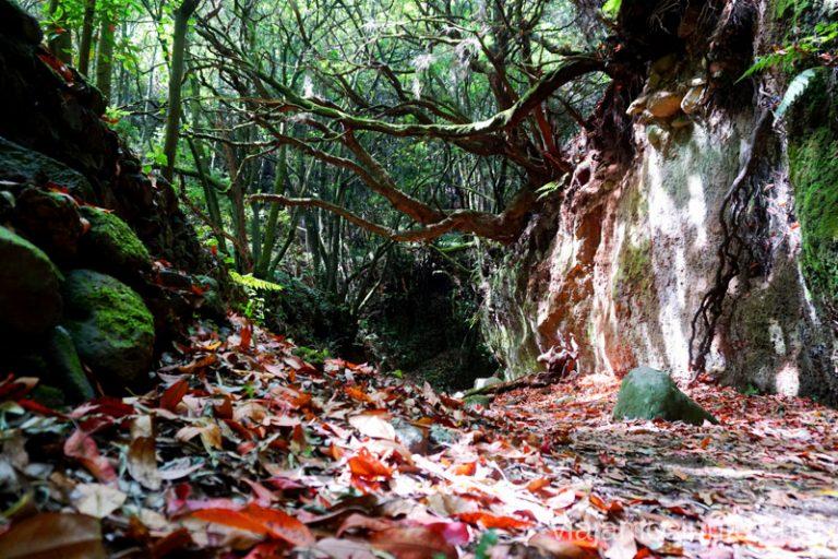 Bosques de laurisilva en la Palma.