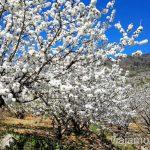 Ver cerezos en flor en el Valle del Jerte es una experiencia muy primaveral Ver cerezos en flor en el Valle del Jerte Consejos prácticos, turcos, rincones secretos