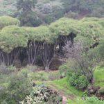Los enormes dragos en la ruta de Buracas Ruta de los dragos de Buracas La Palma, islas Canarias