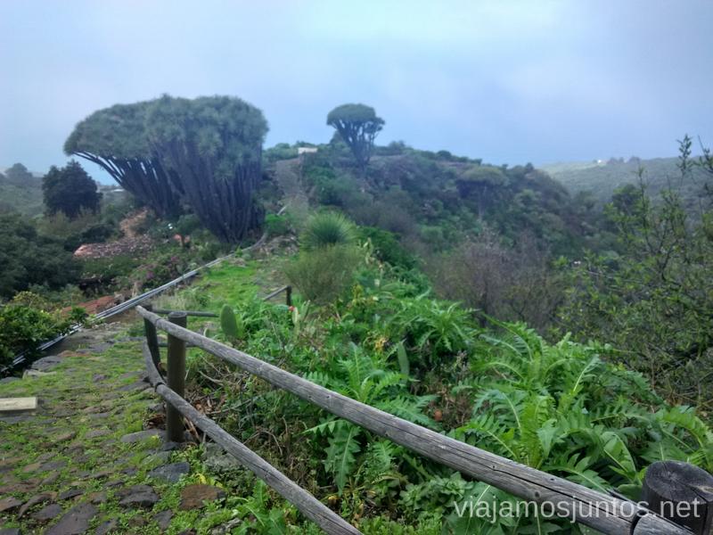 Encantadora ruta de los dragos de Buracas, los dragosRuta de los dragos de Buracas La Palma, islas Canarias