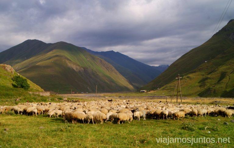 Un rebaño de ovejas en el Valle de Truso. Guía de viaje a Georgia. Viajar a Georgia. Consejos prácticos. Tips de viaje a Georgia.