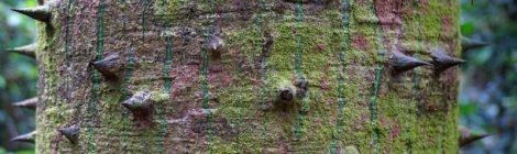 Árbol que sabe cómo defenderse Viajar a la selva peruana. Consejos prácticos para organizar tu viaje a la selva peruana Peru #PerúJuntos Perú