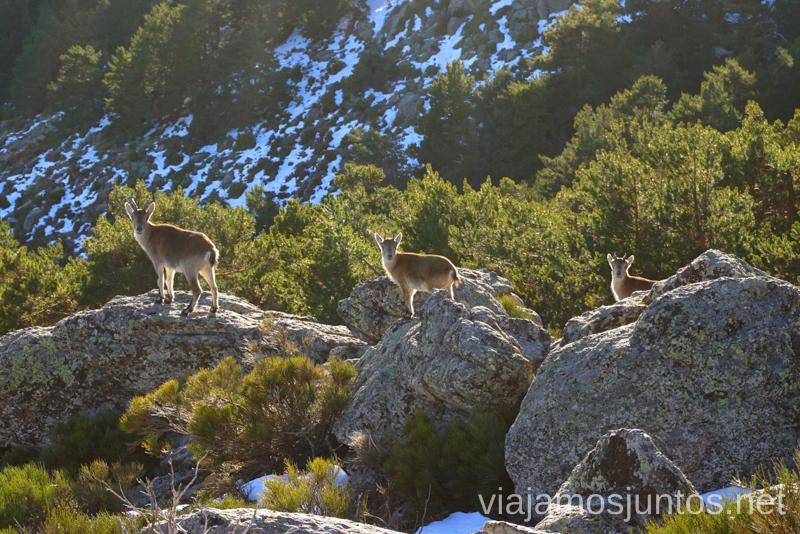 Cabritas montesas en la ruta de la Najarra. 3 rutas para disfrutar de la nieve cerca de Madrid
