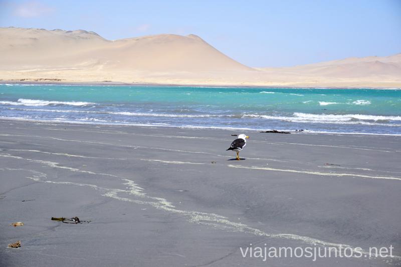 La gaviota en la playa Mendieta. Qué ver y hacer en Paracas. Organizar la visita a las islas Ballestas y Reserva Nacional de Paracas Peru #PerúJuntos Perú