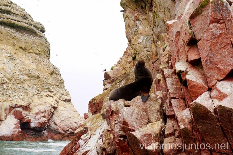 Leones marinos en las Islas Ballestas. Qué ver y hacer en Paracas. Organizar la visita a las islas Ballestas y Reserva Nacional de Paracas Peru #PerúJuntos Perú