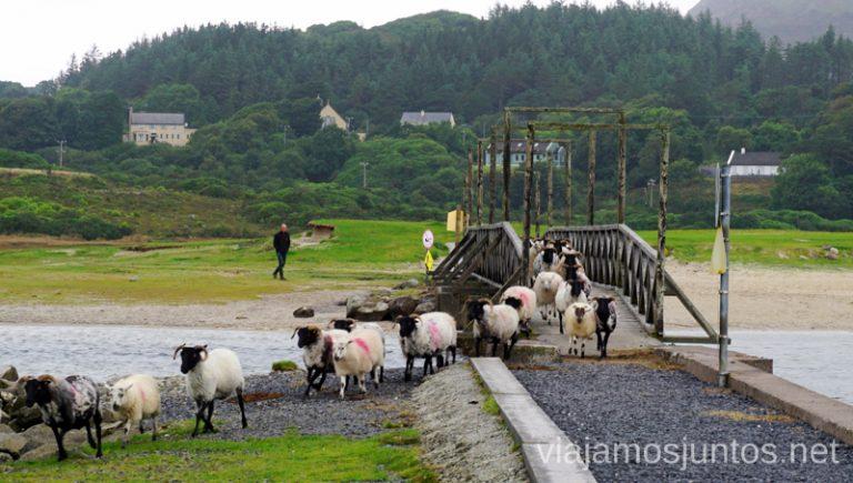 Ovejas cruzando el puente, dirigidas por un perro-pastor. Consejos prácticas para preparar tu viaje a Irlanda. Guía de viaje de irlanda #IrlandaJuntos