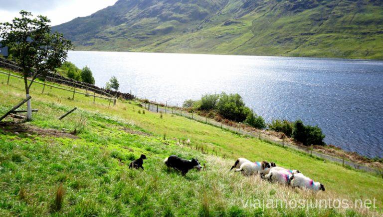 Disfrutando de las ovejas y perros-pastores en Irlanda. Qué ver y hacer en Cliff Coast y Bay Coast Wild Atlantic Way Irlanda #IrlandaJuntos Ruta Costera del Atlántico