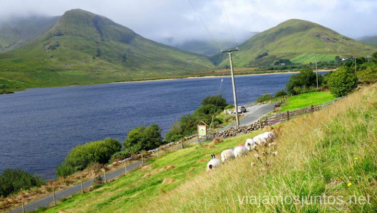 """Demostración de """"sheepdogs"""" en Joyce Country Sheepdogs. Qué ver y hacer en Cliff Coast y Bay Coast Wild Atlantic Way Irlanda #IrlandaJuntos Ruta Costera del Atlántico"""