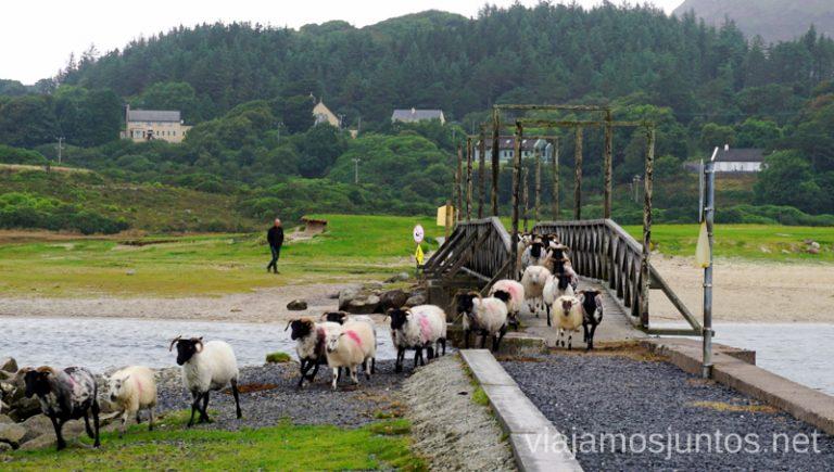 """El trabajo de """"sheepdogs"""". Qué ver y hacer en Cliff Coast y Bay Coast Wild Atlantic Way Irlanda #IrlandaJuntos Ruta Costera del Atlántico"""