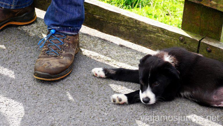 Cachorro de sheepdog descansando en los pies de su dueño. Joyce Country Sheepdogs. Perros - pastores de Irlanda. Wild Atlantic Way Irlanda #IrlandaJuntos