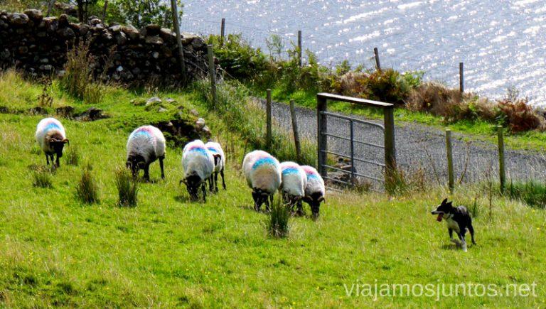 Demostración de sheepdogs trabajando con ovejas. Joyce Country Sheepdogs. Perros - pastores de Irlanda. Wild Atlantic Way Irlanda #IrlandaJuntos