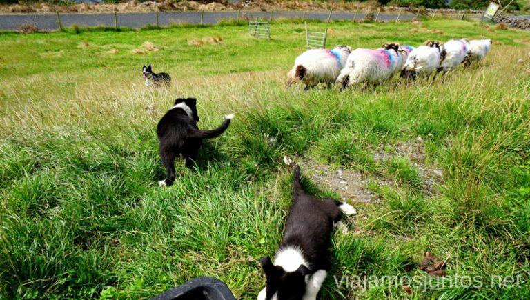 Cachorros de perros-pastores en Joyce Country. Joyce Country Sheepdogs. Perros - pastores de Irlanda. Wild Atlantic Way Irlanda #IrlandaJuntos