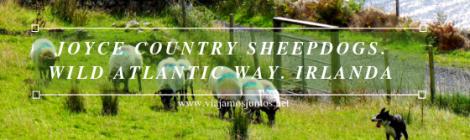 Joyce Country Sheepdogs. Perros - pastores de Irlanda. Wild Atlantic Way Irlanda #IrlandaJuntos