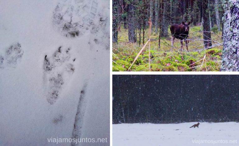Animales salvajes en Países Bálticos. Qué ver y hacer en Países Bálticos. Viajar a Países Bálticos en invierno.