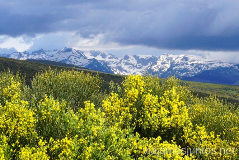 Piornos en flor en la Sierra Norte de Gredos. Qué hacer en Gredos Norte, la Sierra Norte de Gredos. Destinos para Semana Santa