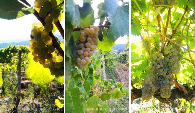 Al vendimiar entendimos porque el Albariño suele ser más caro que otros vinos: mira qué uva más pequeñita. #VendimiaJuntos