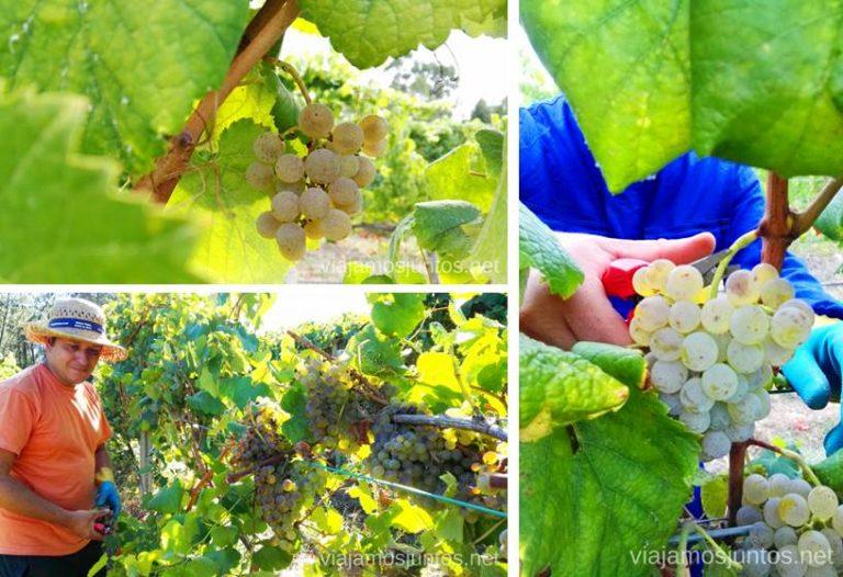 Recolectando racimos de uva blanca.