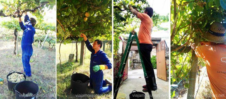 ¿Cómo te es más cómodo cortar la uva? #VendimiaJuntos Vendimiar en una bodega