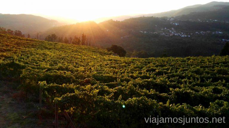 Amanece en los viñedos. Vendimia por primera vez en Galicia. Sensaciones y nuestra experiencia. #VendimiaJuntos