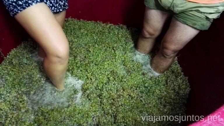 Pisando uva. Vendimiar por primera vez en Galicia. Sensaciones y nuestra experiencia. #VendimiaJuntos