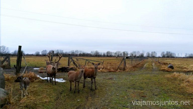 Granja de renos en el delta del Nemunas. Viajar a Países Bálticos en invierno. Lituania