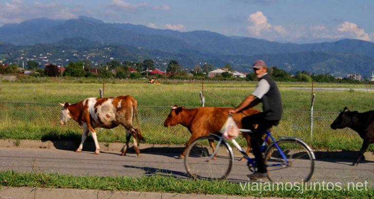 Vacas en las calles de Tbilisi. Georgia.
