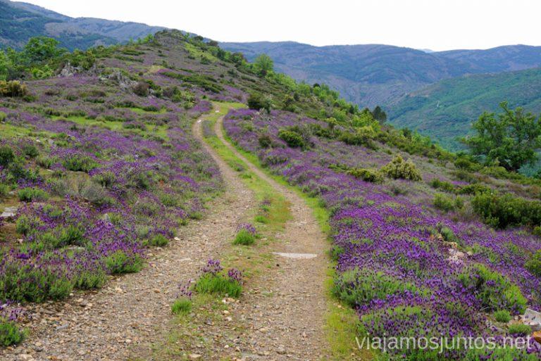 Camino de flores en GR 303. Gran ruta circular en la Sierra del Rincón, Sierra Norte de Madrid, Comunidad de Madrid